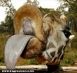 Zsiráf nyelves puszi