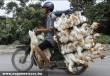 Kacsaszállítás Ázsiában