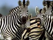 Szamarakból zebra