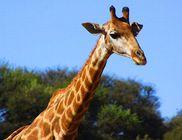 Harminc gyerek és a zsiráf